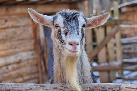 close-up portrait of smiling goat head Stock Photo