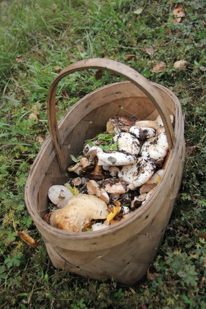 Wicker basket of wild mushrooms standing on the grass in the woods