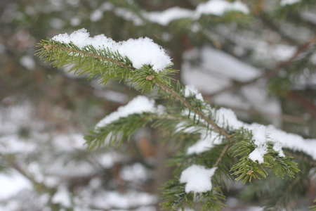 a background of green fir branch in the snow in the winter On Christmas Stock Photo