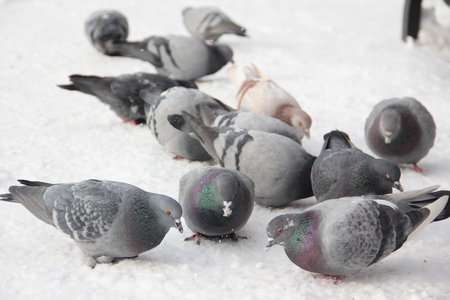 birds pigeons pecking grain in the snow in the winter in the street close up