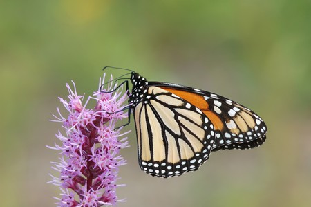 Monarch Butterfly on Pink Lantana with nice background photo