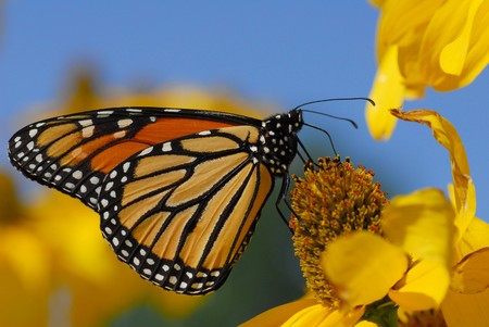 Monarch butterfly warming up and eating on afternoon sun Stock Photo - 4397577