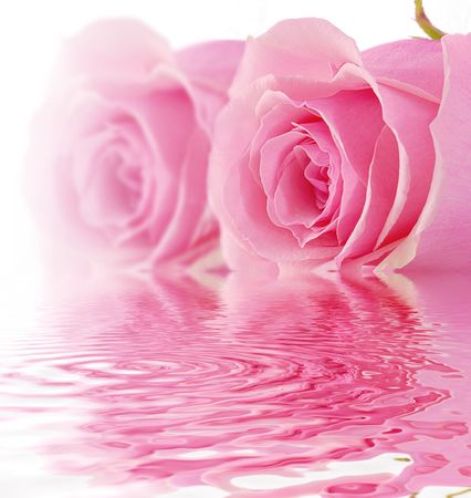 Two pink roses on white background and limited DOF Stock Photo