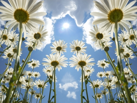 Daisies on sunny day with clouds and sun in background