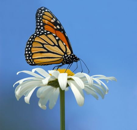 Monarch butterfly is having lunch with out of focus background photo