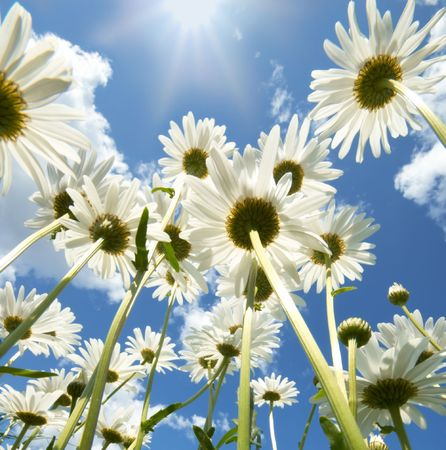 Daisies on sunny day with clouds and sun in background photo