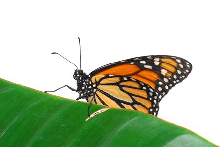 Monarch butterfly is resting on leaf with white background photo