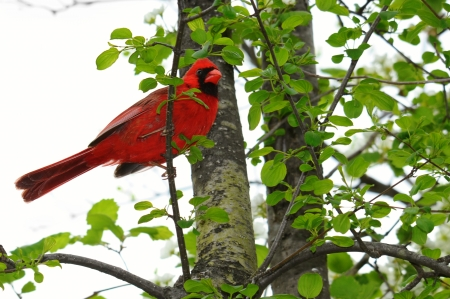 Male Cardinal perched on a branch photo