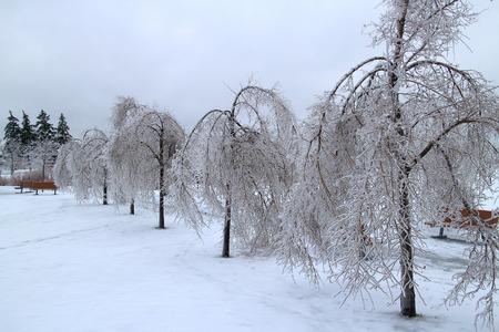 sopel lodu: Trees covered in ice after a major winter storm
