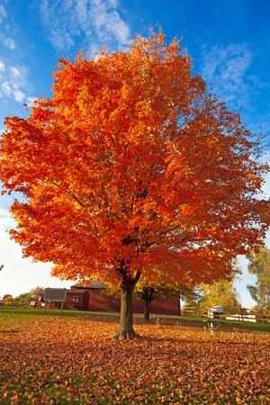 FALL TREE Stock Photo - 10894713