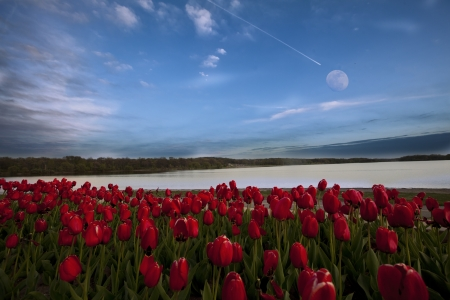 tulips under the moon photo