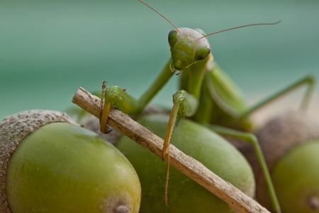 european mantis: European mantis holding branch in its claws