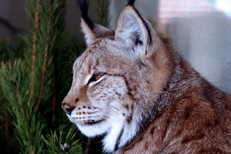 Siberian lynx sits beside pine tree and looks aside