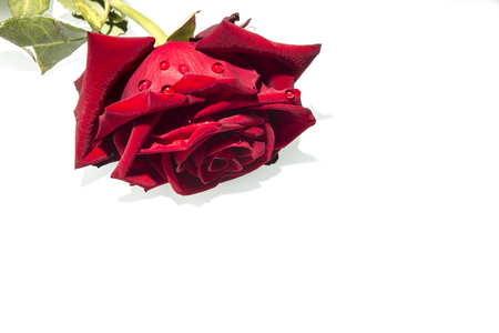 red rose with green leaves on a white background Stock Photo