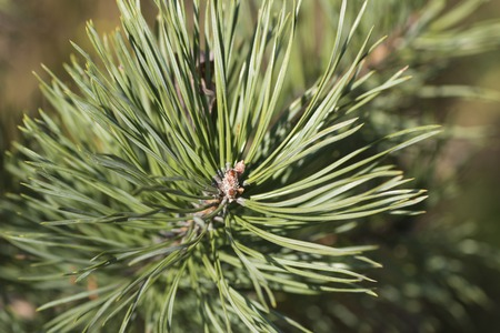 fresh needle leaves on pine branch at spring Stock Photo