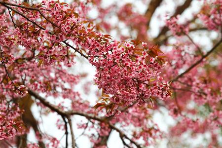 sakura arbol: �rbol de sakura rosado