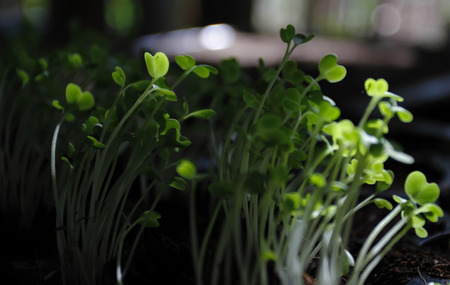 water cress: Edible plants Stock Photo