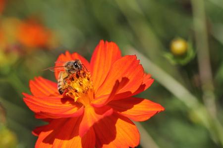 bee on flower: Little bee on the flower