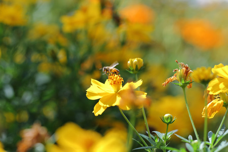 bee on flower: Bee and flower