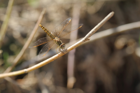 snaketail: dragon fly