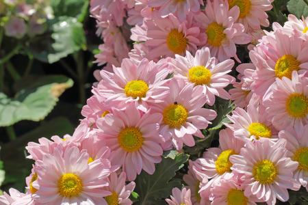 geranium color: pink flower