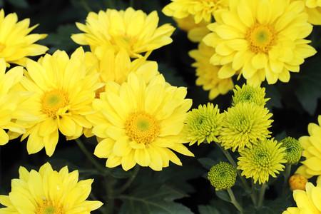 yellow: yellow folra