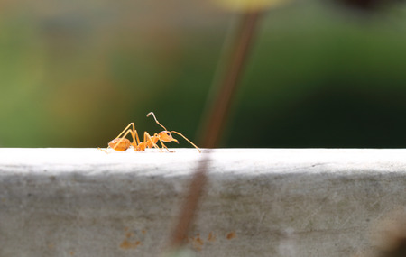 leaf cutter ant: ant Stock Photo
