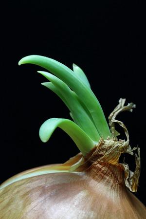 regenerate: Onions are regenerate