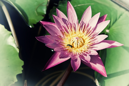 lotus effect: Vintage retro effect filtered hipster style image of asian lotus