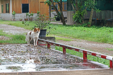 serves: Dog breed Thailand that serves to guard the house. Stock Photo