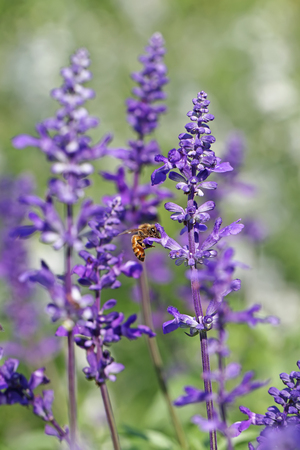 Blue Salvia field and bee