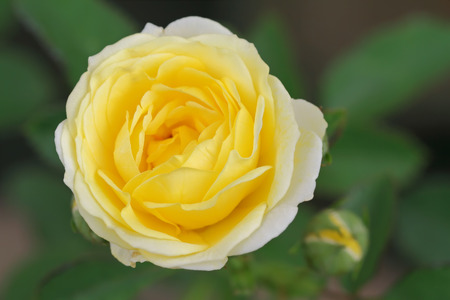 Beautiful yellow rose with water droplets after rain .