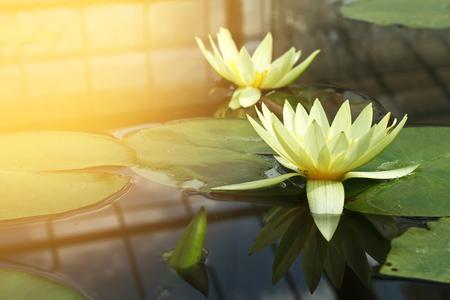 twain: Twain yellow lotus in lotus pond