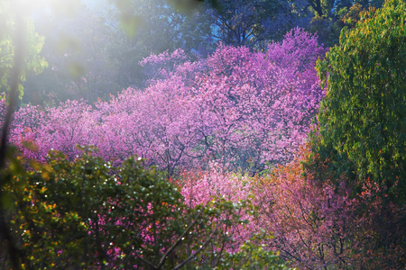 sakura tree in forest with soft light in morning.