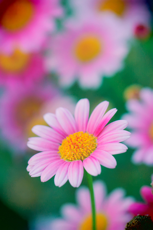 Pink flowers that blur highlight the colors and see the flowers blur. Stock Photo