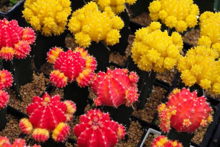 Full bloom colored of red and yellow cactus Stock fotó
