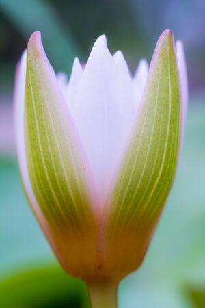 Closeup lotus makes the image soft