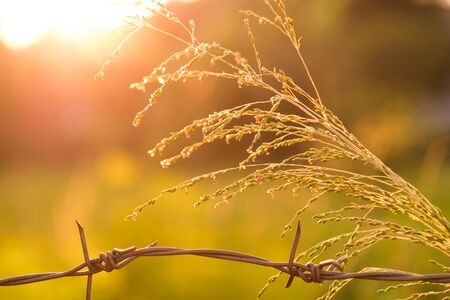 Flower grass and barbed wire and evening light. The sun is set.