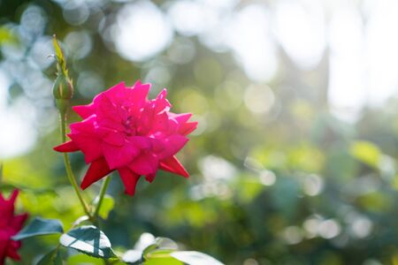Bright red rose, blurry background with bokeh from vintage lenses. Foto de archivo