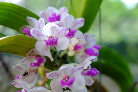 Two purple and white orchid flowers, natural blurred background