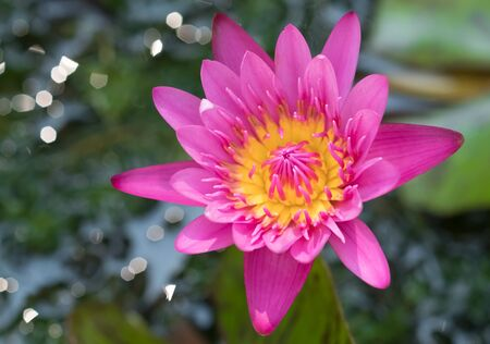 The pink lotus flower is a blurred background.