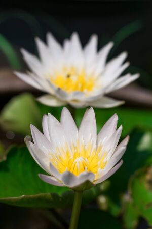 White lotus flower backdrop, another lotus flower blurred in the background Foto de archivo