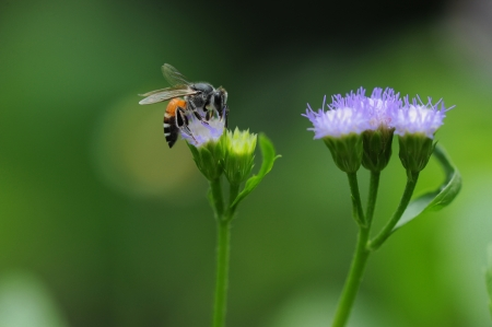 Bee,Bug,Flower photo