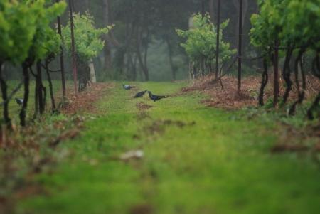 uvas vino: Plantaci�n de uvas de vino Foto de archivo