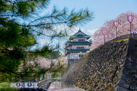 Cherry blossoms at the Hirosaki Castle Park in Hirosaki, Aomori, Japan 報道画像
