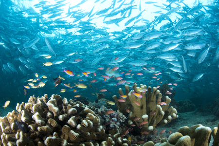 Marine life have a colourful with school of Trevallies .Sipadan Island ,Malaysia Stock Photo