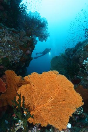 Scuba Divers swimming over the big gorgonian. Batee Tokong . Pulau Weh , Indonesia