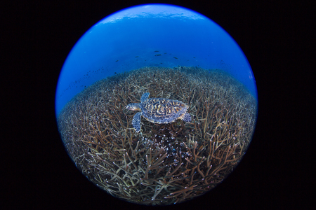 Juvenile Hawkbill turtle swimming with more staghorn coral . Losin, Thailand Stock Photo