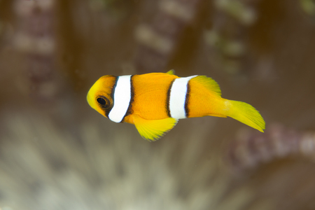 indo: A clownfish on a anemone background. indonesia