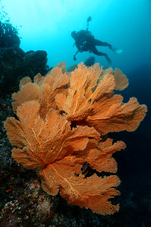 Scuba Divers swimming over the big gorgonian. Batee Tokong . Pulau Weh , Indonesia